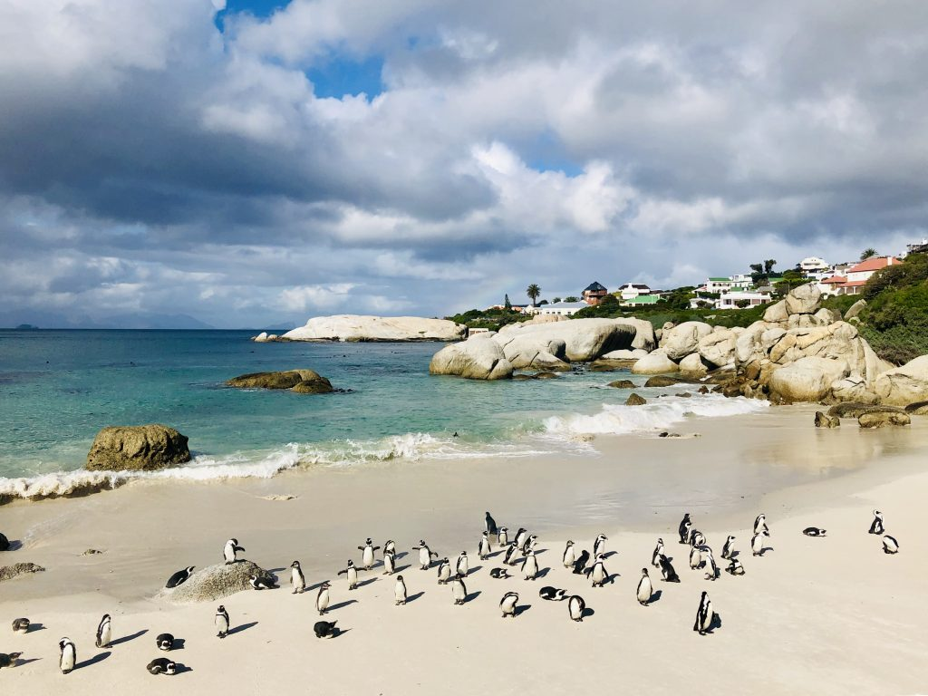 a photo of penguins on boulders beach in simon's town