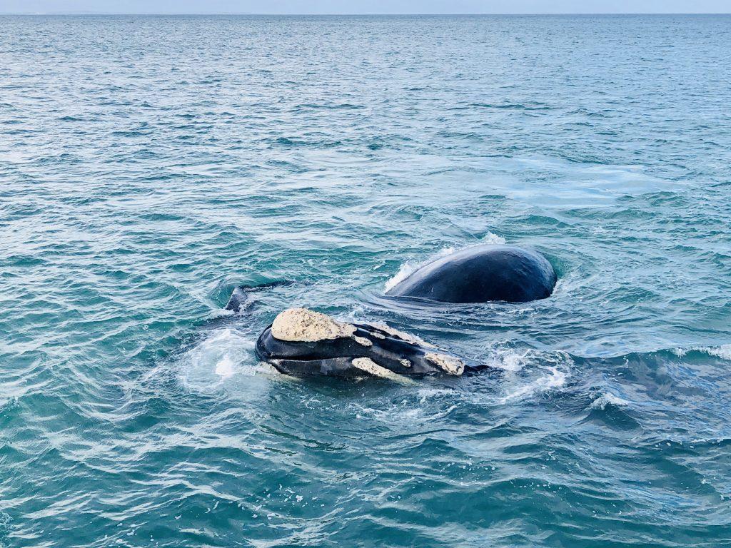 a photo of whales in the ocean in hermanus
