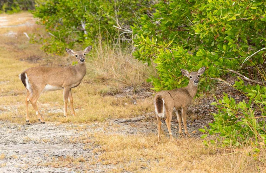 An interesting place to stop on your Miami to Key West road trip is National Key Deer Refuge Nature Center.